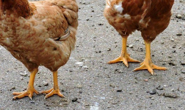 От чего куры несушки падают на ноги причина и лечение