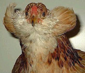 Амераукана – обзор редкой породы кур