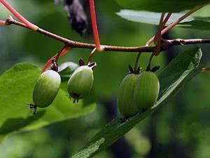 Актинидия на урале: подходящие сорта и рекомендации по выращиванию