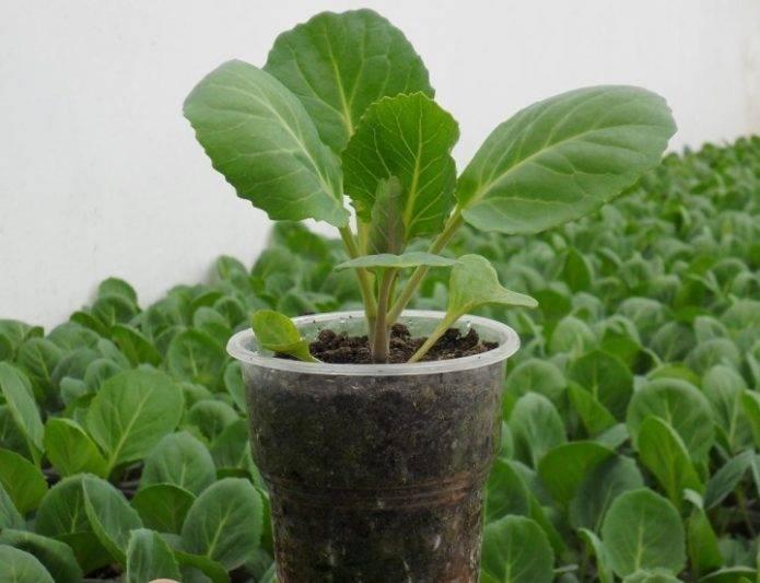 Брюссельская капуста: сорта для выращивания в открытом грунте, посадка и уход