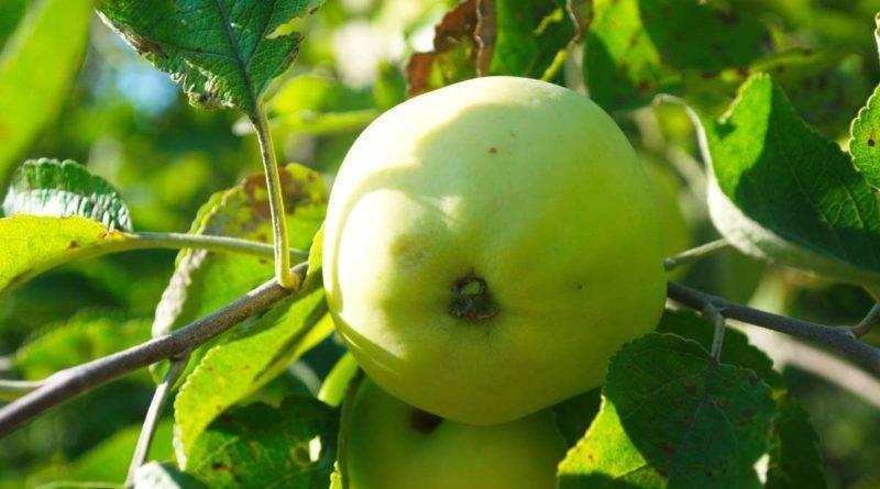 Сорт яблони пинова: описание и подробная характеристика, правила выращивания