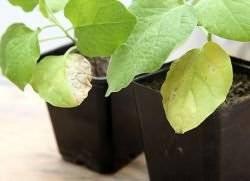 Почему у рассады баклажанов скручиваются листья: основные причины и меры борьбы со скручиванием
