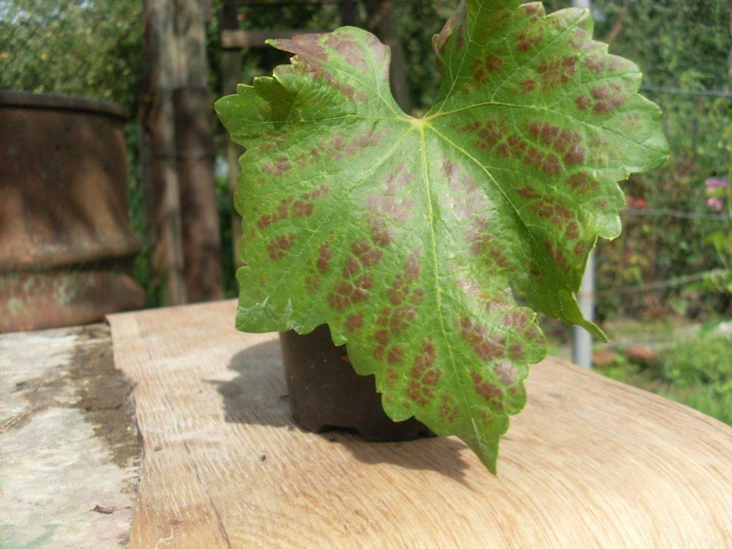 Что делать, если листья у клубники покрылись красными пятнами, как лечить