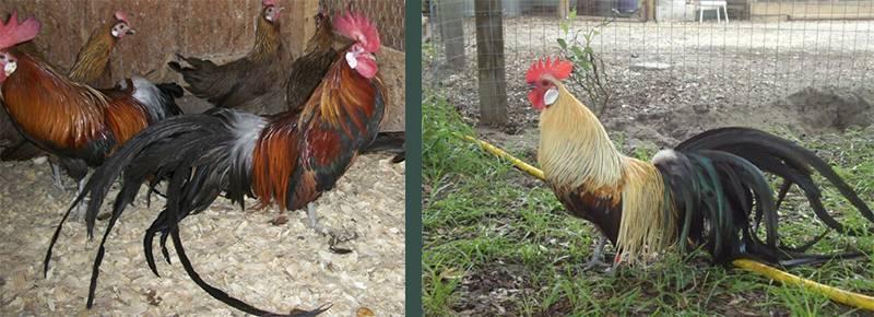 Феникс: описание породы кур, особенности их содержания