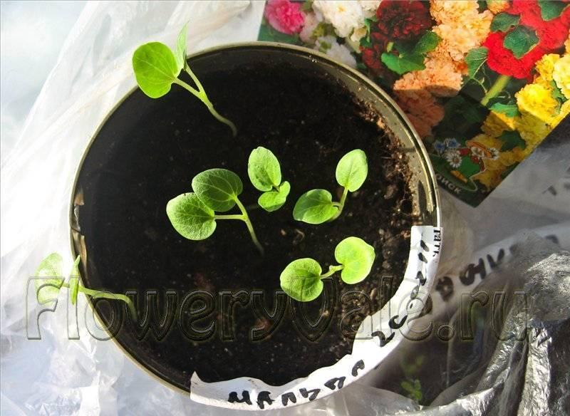 Шток-роза: посадка и уход за растением