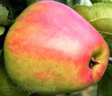 Сорт яблок кандиль орловский характеристика описание сорта посадка и уход