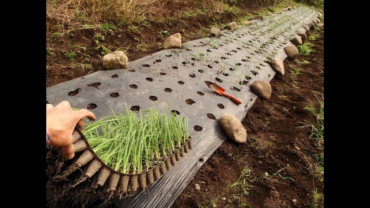 Особенности выращивания из семян и когда сажать лук чернушку