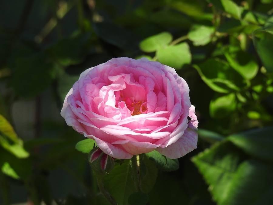 Чайные розы: описание лучших сортов и особенности правильного ухода в саду