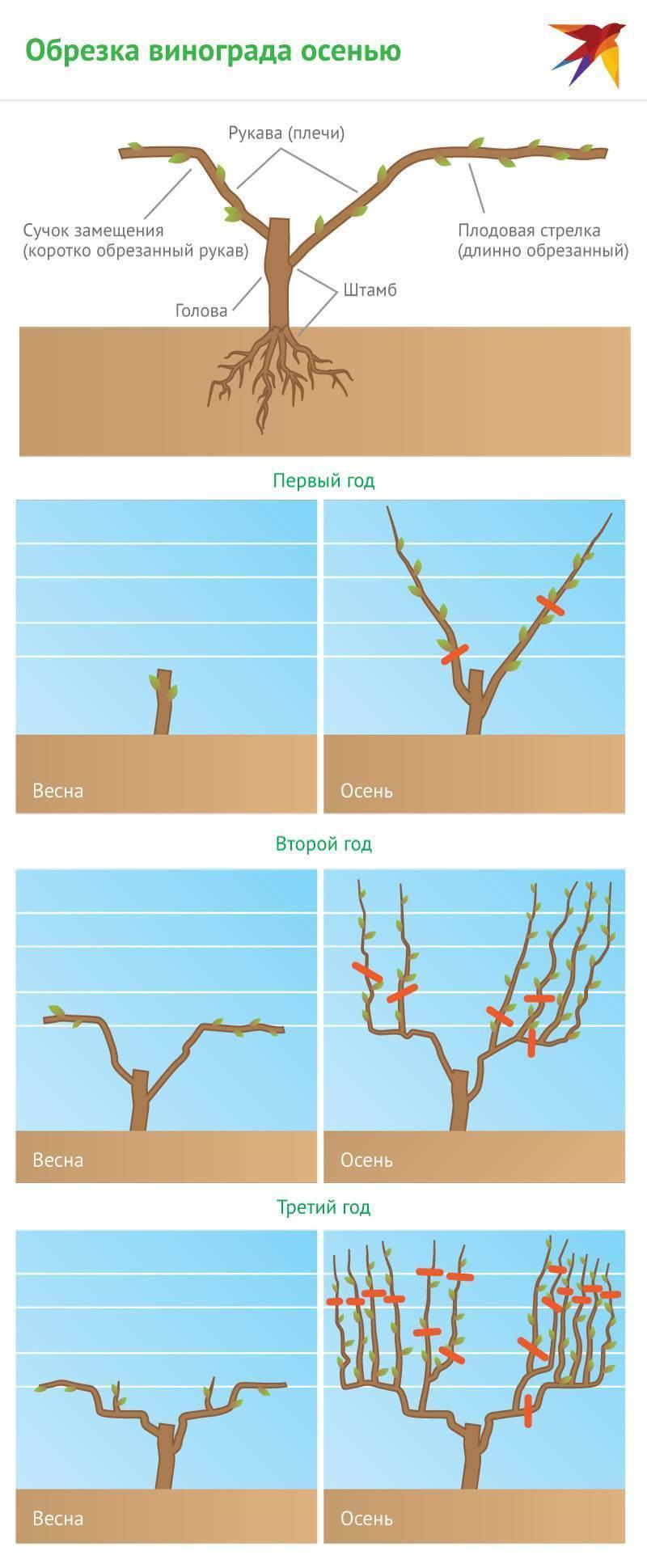 Длинная обрезка — обрезка и формирование кустов винограда