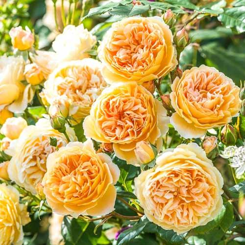 Роза принцесса маргарет (crown princess margareta)
