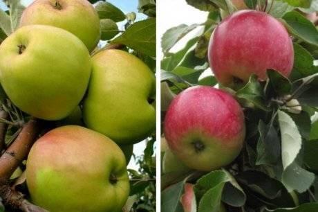 Сорт яблони братчуд — описание, особенности посадки и ухода