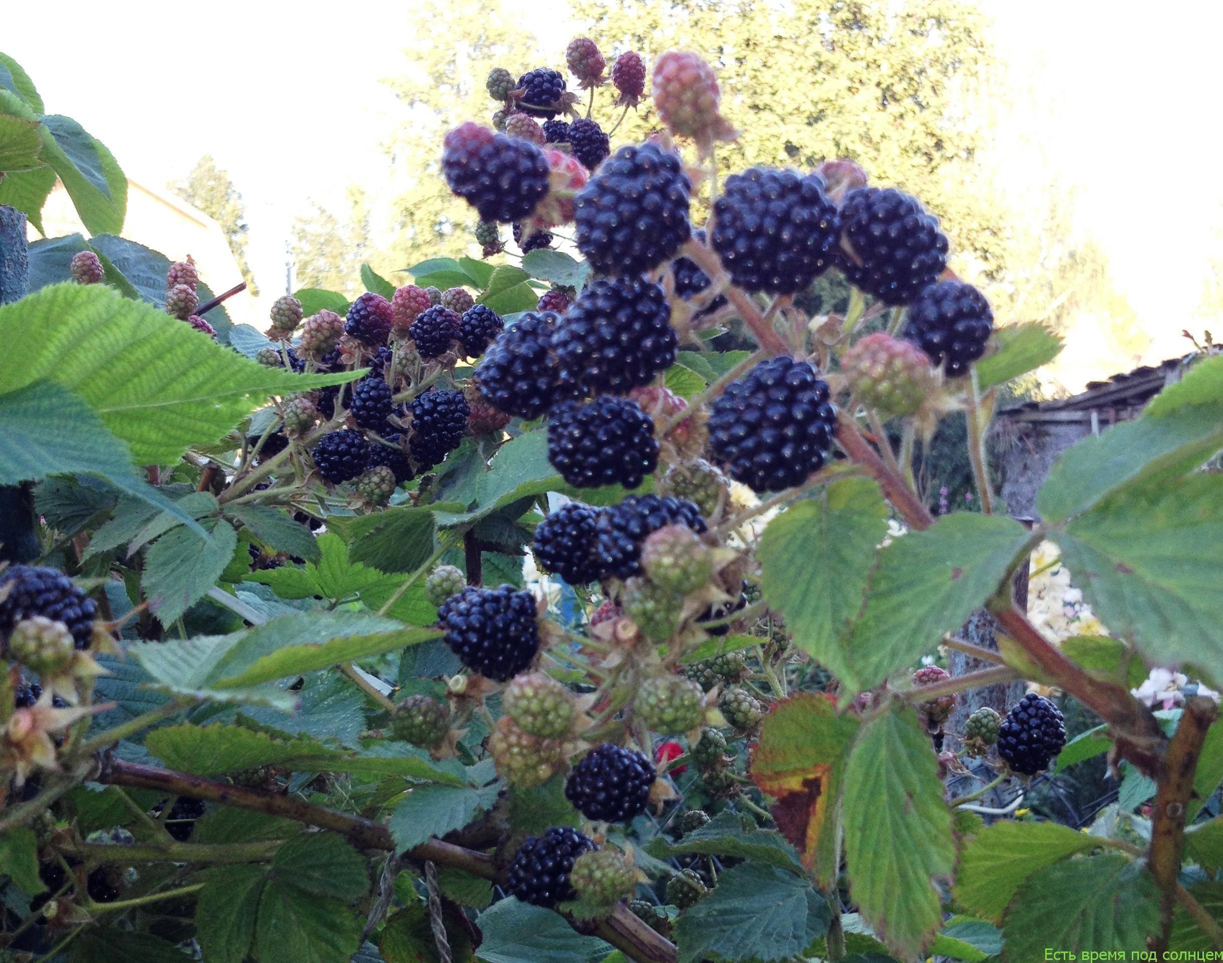 Малина и ежевика: полезные свойства, какие витамины содержатся в ягодах