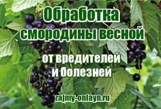 Как бороться с вредителями на красной и черной смородине? как и чем можно обработать смородину во время плодоношения?