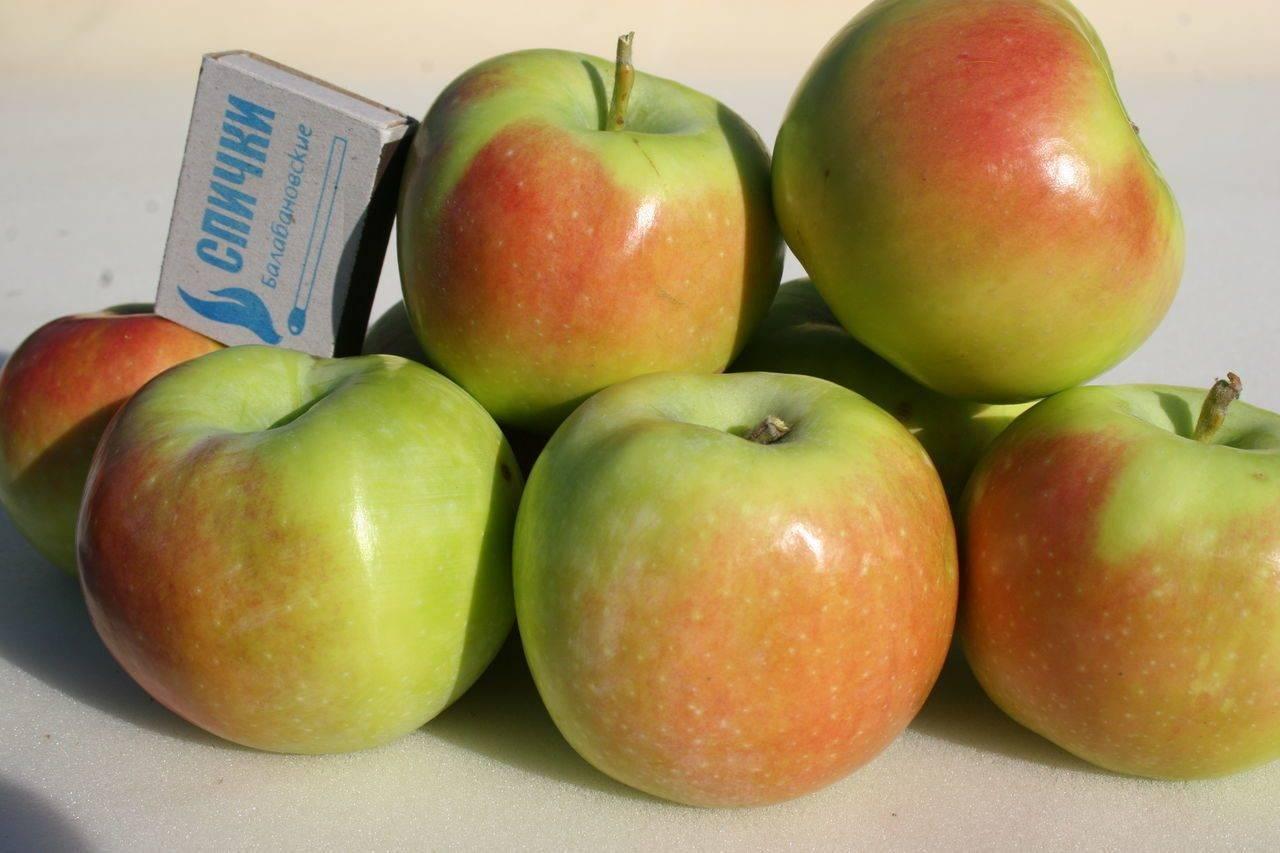 Описание и характеристика яблони сорта кандиль орловский, посадка и уход