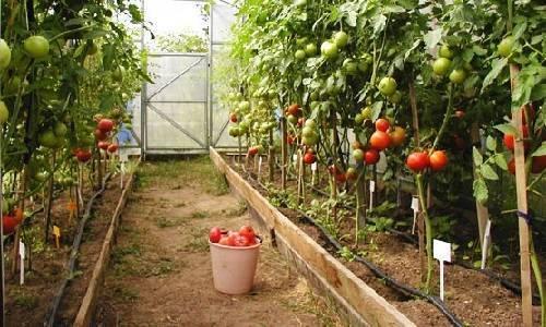 Расстояние помидоров в теплице: на каком сажать, схема посадки томатов 3х6, что между разместить и расположить