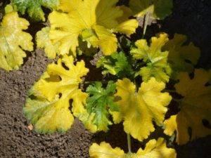 Почему желтеют листья у рассады кабачков