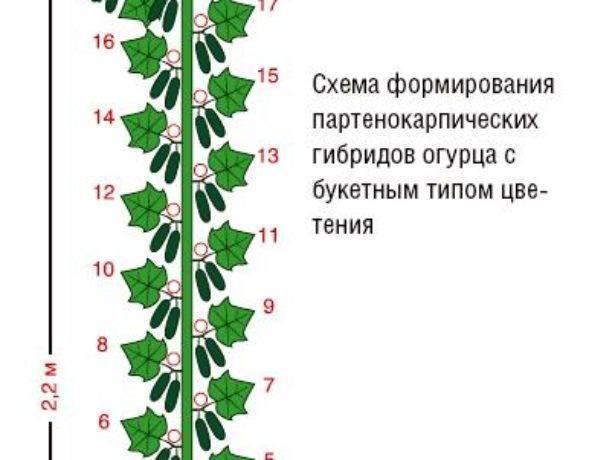 Как правильно обрезать огурцы в теплице: смотрите схему и инструкции