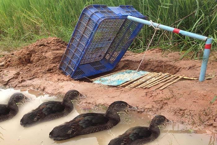 Как поймать дикую утку: приспособления, силки для уток