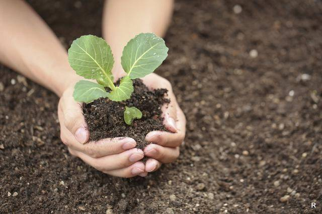 Когда высадить капусту в открытый грунт по лунному календарю, сроки посадки