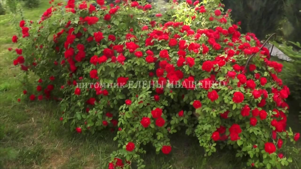 Правила выращивания розы фламентанц