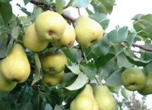 Зимостойкая груша чижовская: обильное плодоношение даже без опылителя