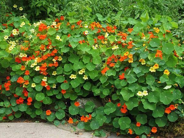 Настурция: выращивание из семян, посадка и уход