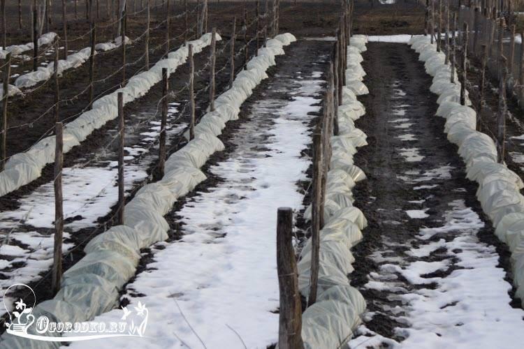 Как и когда укрывать виноград в теплице на зиму и как исключить его засыхание в теплице из поликарбоната зимой + видео