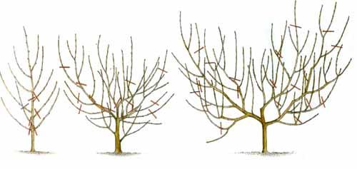 Обрезка персика осенью: инструкция для начинающих в картинках пошагово