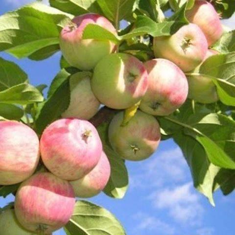 Сорта яблони профессора е. с. черненко | плодовый сад
