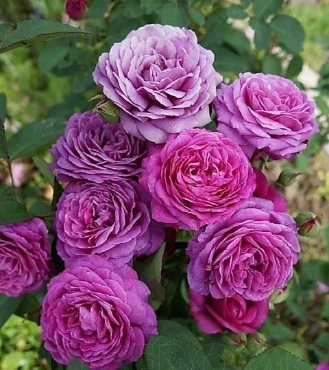 Роза heidi klum хайди клум