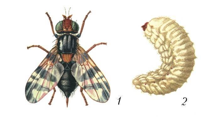 Вишневая муха: описание, методы борьбы и рекомендации