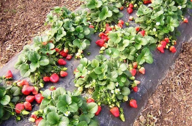 Способы посадки садовой земляники и уход за ней