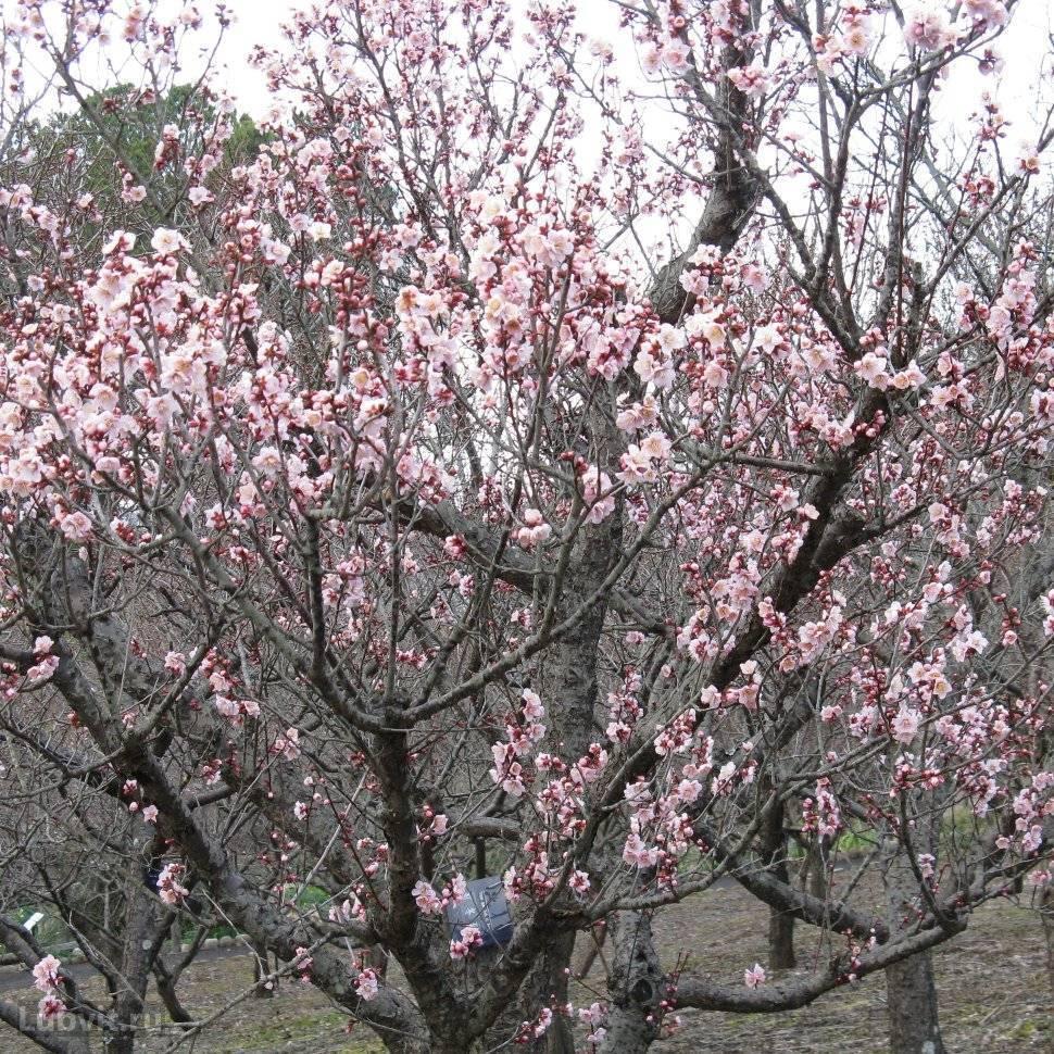 Характеристика и особенности абрикоса сорта орловчанин