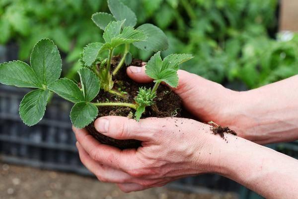 Выращивание рассады земляники из семян в торфяных таблетках