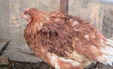 Болезни цыплят