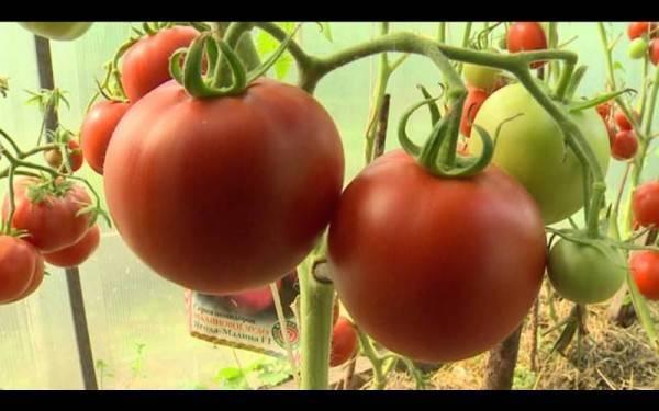 Биденс: особенности выращивания в открытом грунте