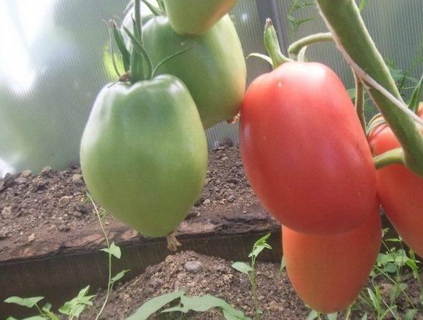 О томате Красный петух: описание сорта, характеристики помидоров, посев