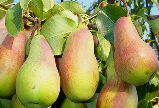 Характеристика и правила выращивания груши сорта талгарская красавица