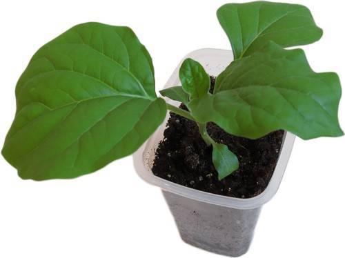 Как посеять и вырастить рассаду баклажанов