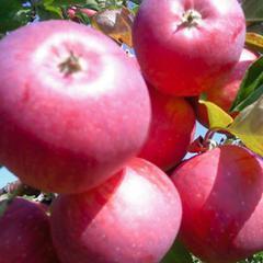 Описание сорта яблони беркутовское - общая информация - 2020