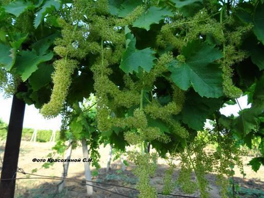 Цветение винограда и его особенности: разбираемся основательно