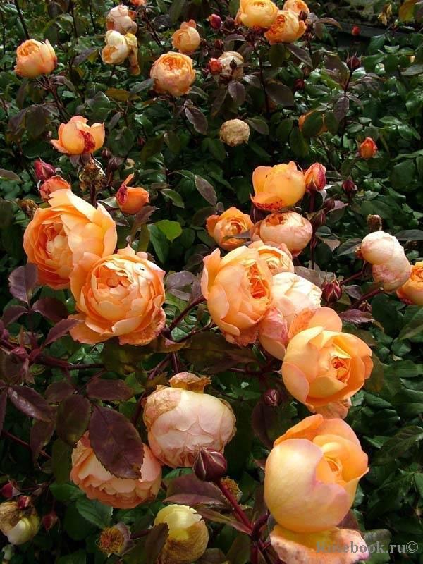 Выращивание английской мускусной розы леди эмма гамильтон: сорт из класса шрабов