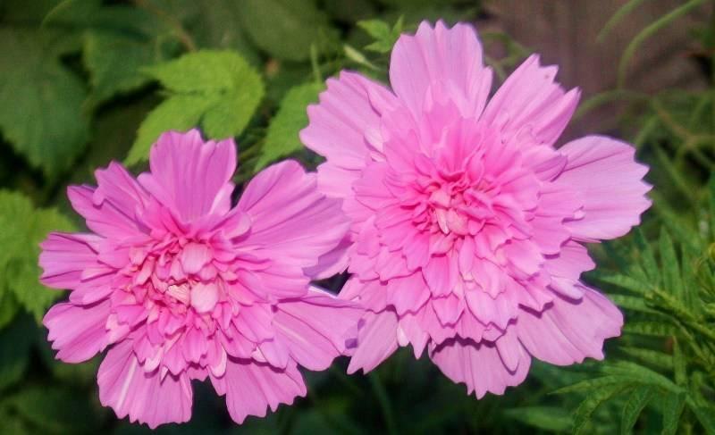 Горицвет – описание, виды, выращивание и уход