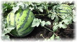 Три правила выращивания больших арбузов у себя на огороде