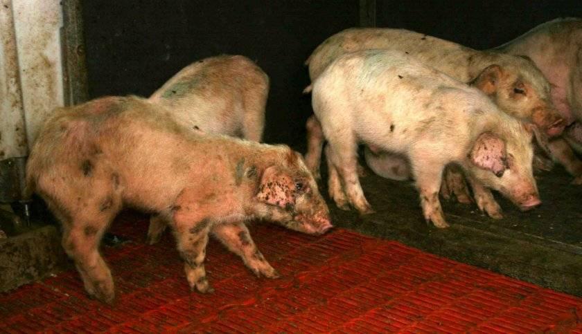 Картинки со смешными свиньями смерти достаточно
