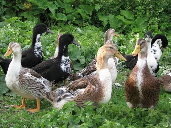Башкирская утка – фото, описание, рацион, разведение, отзывы
