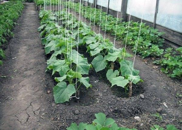 Грунт для огурцов в теплице — чем обработать почву осенью