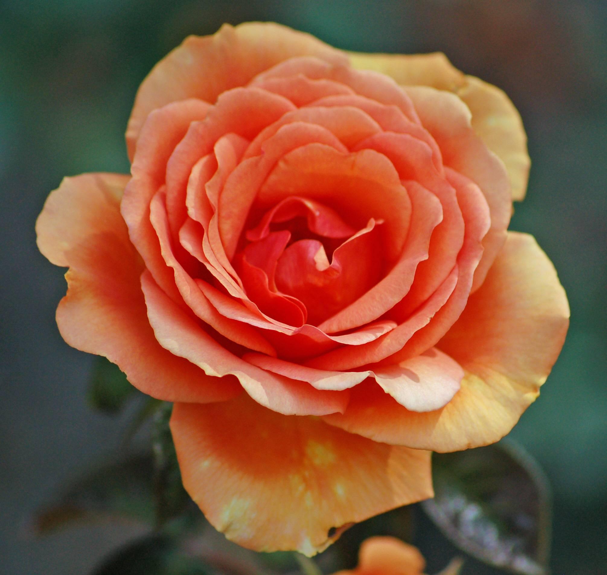 Ashram — чайно-гибридная роза с эффектной окраской лепестков от tantau