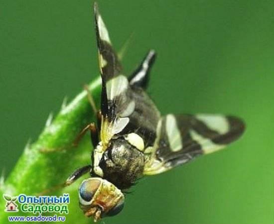 Борьба с ирисовой мухой: практические рекомендации