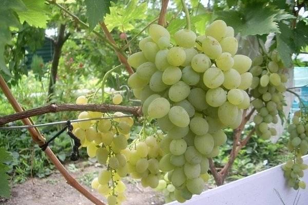 Лучшие сорта винограда: описание с названием, фото и видео. белый, черный, розовый и красный сорт